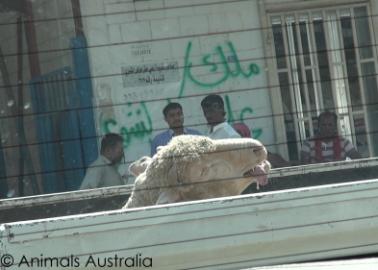Live Export: Trafficking, Beatings, Broken Legs and Stabbings