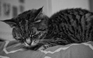 Cats could lose their special protection, leading to more suffering