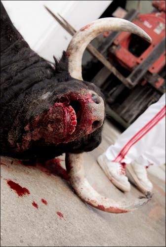 Injured bull