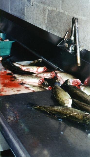 Fish at Trout Farm
