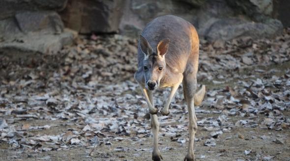 Kangaroo hopping at the Hangzhou Zoo, Zhejiang Province, China.