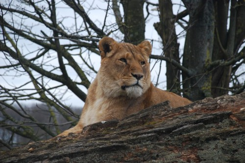 Lioness and cubs were put down at Longleat Safari Park