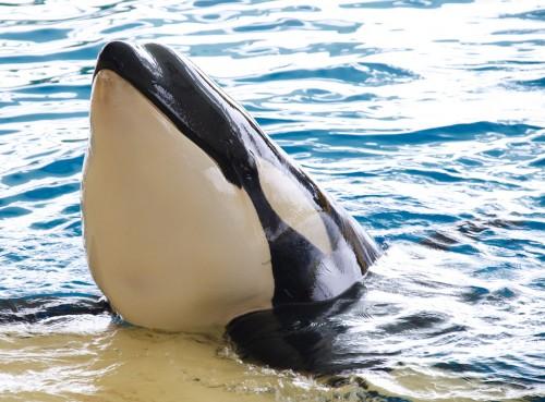 Loro Parque Orca CC