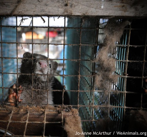 Minks suffer in tiny cages before being skinned for fur
