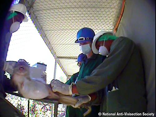 NAVS monkey investigation 500wide 004