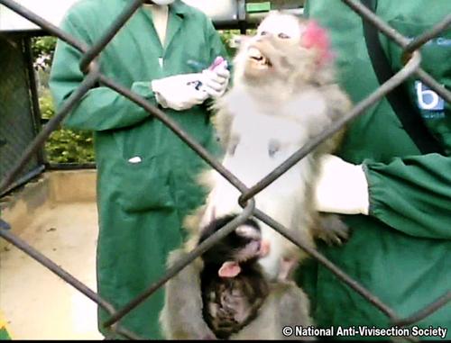 NAVS monkey investigation 500wide 156