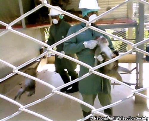 NAVS monkey investigation 500wide 233