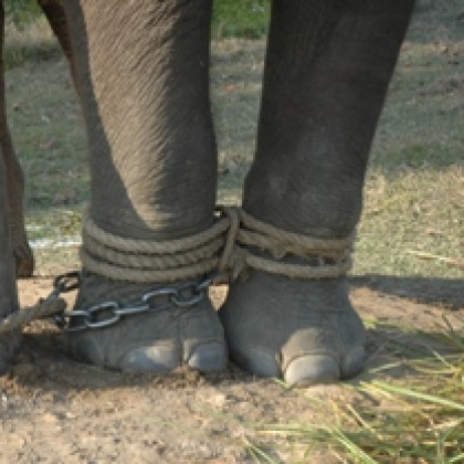 Cruel Training of Nepal Elephants Exposed