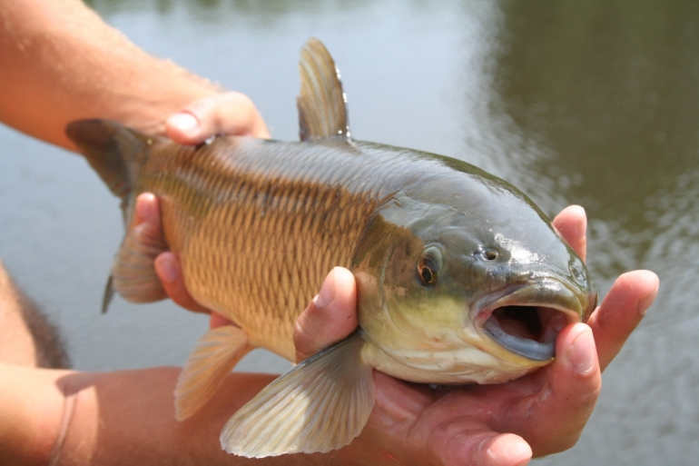 Angling carp caught