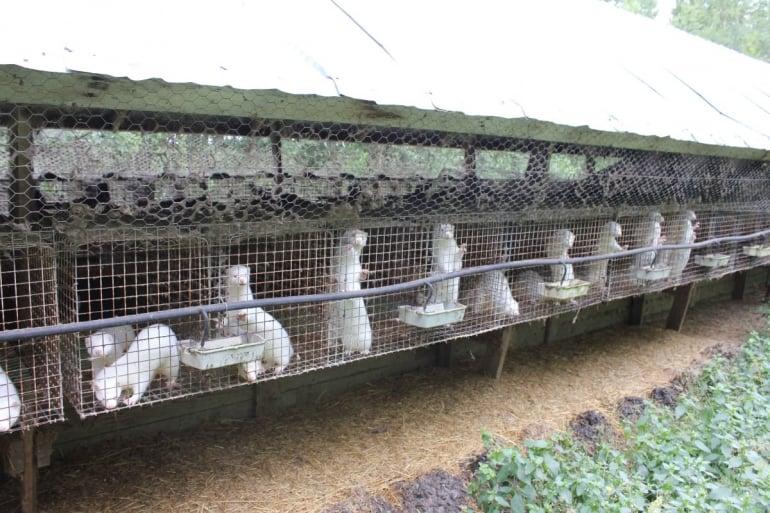 Mink on a Finnish fur farm