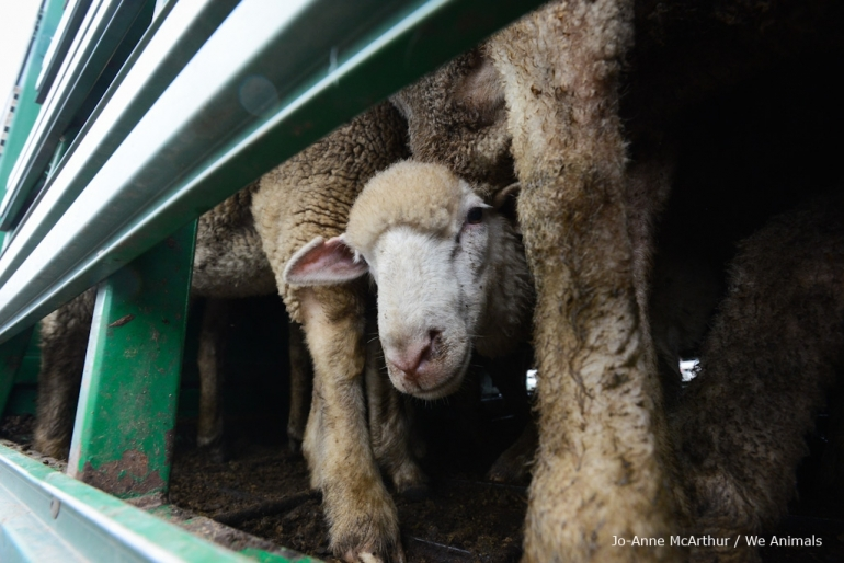 Sheep Suffer for Wool