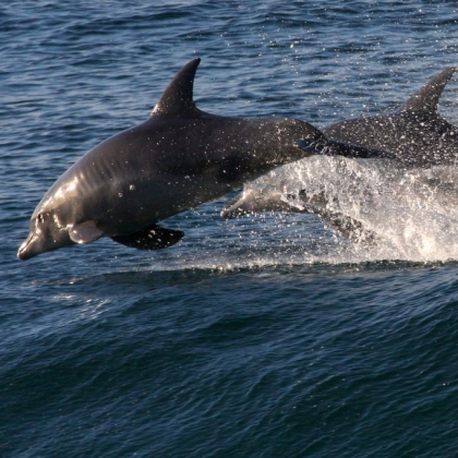 Help Save Dolphins From the Japanese Killing Cove