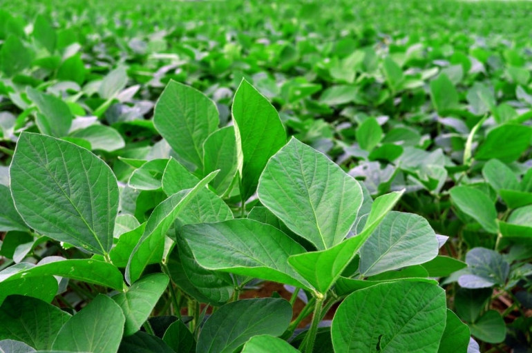 Most soybean crops are used to feed livestock