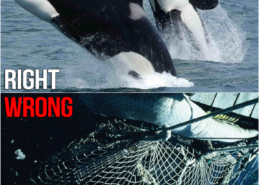 UPDATE: Orcas No Longer to Be Displayed at Sochi Olympics but Still Languishing in Captivity