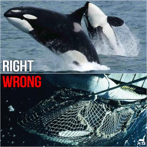 Russia Sochi Wild Orcas