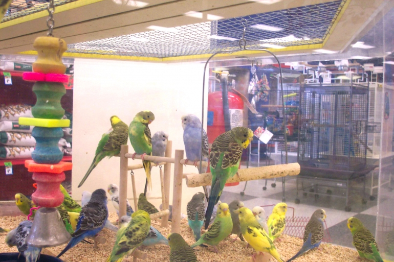 close-up of parakeets in pet shop cage, crowded