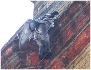 Pigeon Trapped in Net PETA