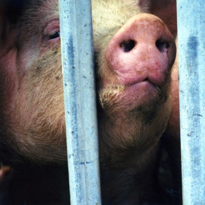 Animals Killed for Meat