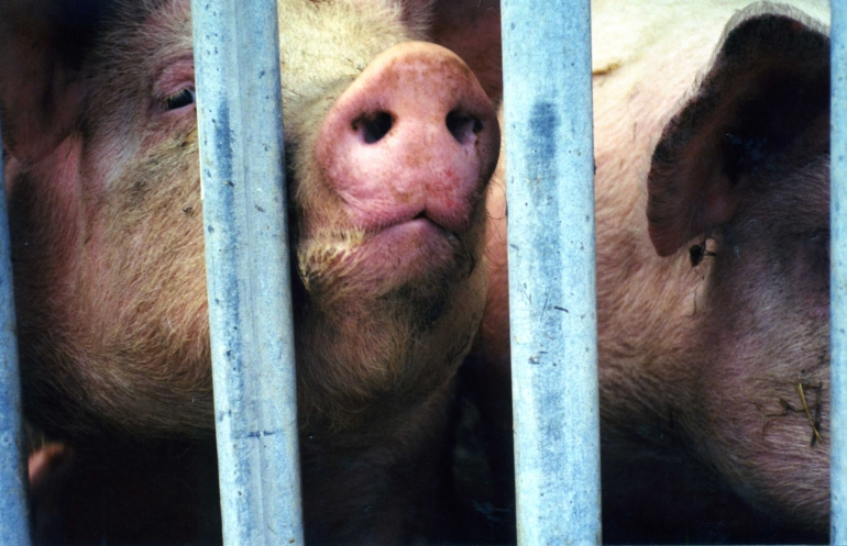 Pigs suffer on factory farms