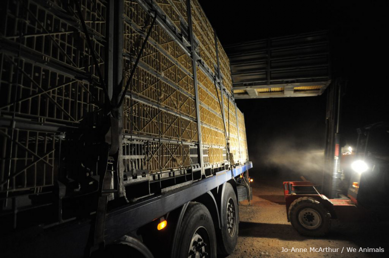Transport at factory farms