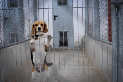 Vivisection PETA Beagle