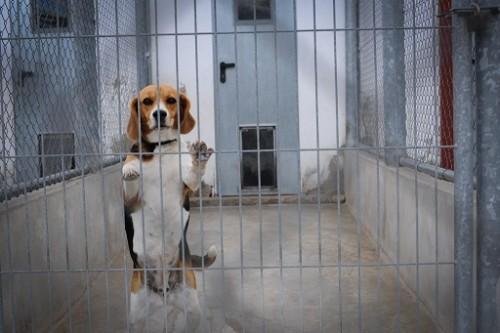 Vivisection PETA Beagle