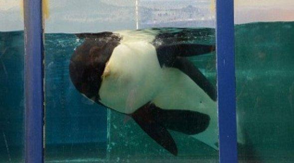 Orca Morgan floats listlessly