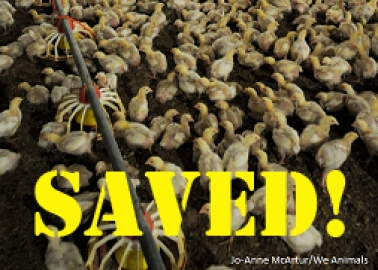 Intensive Broiler Chicken Farm Scrapped – Thanks to You!