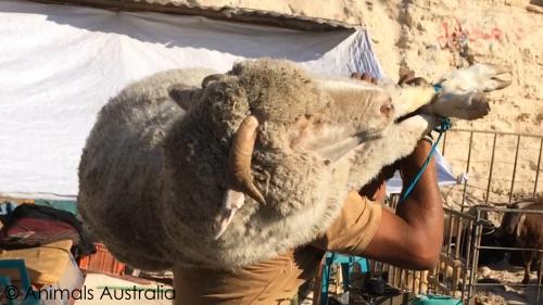 Sheep-carrying
