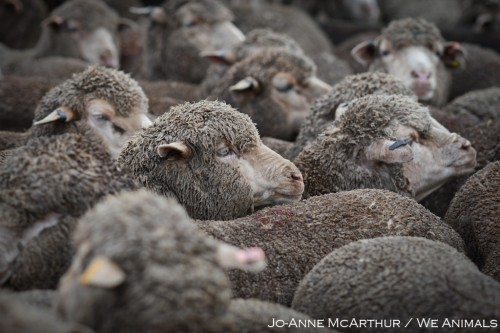 Sheep maimed, hit and killed for wool