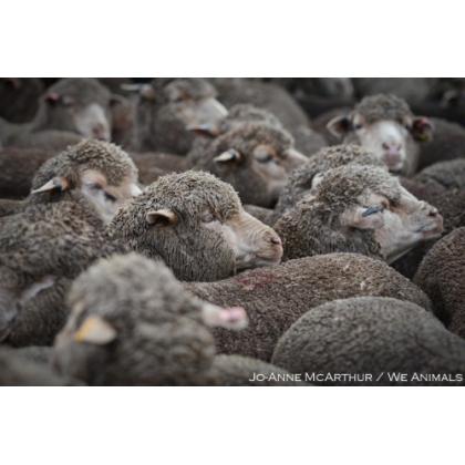 Urge Australian Government to Stop Lamb Mutilations