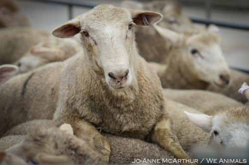 PETA sheep expose Australia