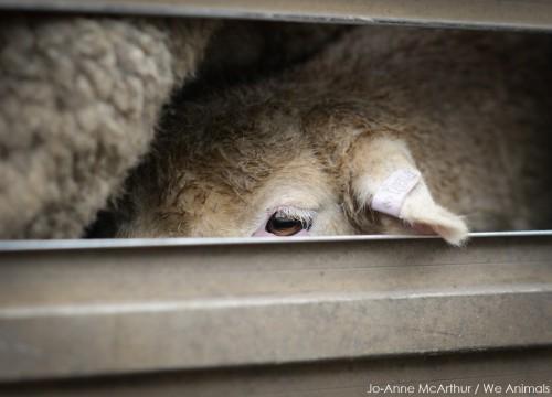 Sheep_WeAnimals-6930 copy