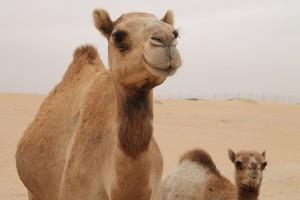 Stock Camel