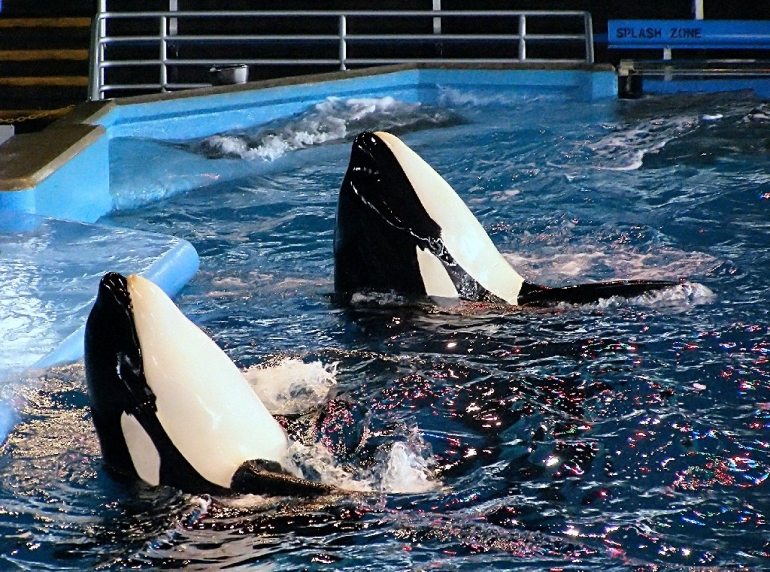 Two orcas at SeaWorld
