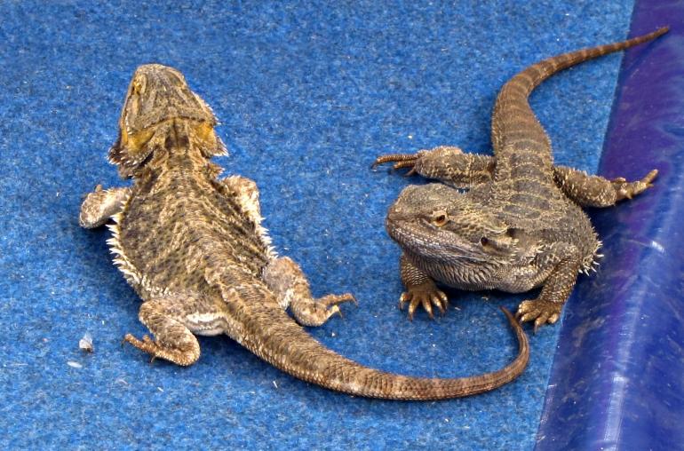 Bearded dragon lizards in captivity
