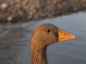 PETA foie gras campaign goose portrait