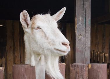 Goats farmed for their milk