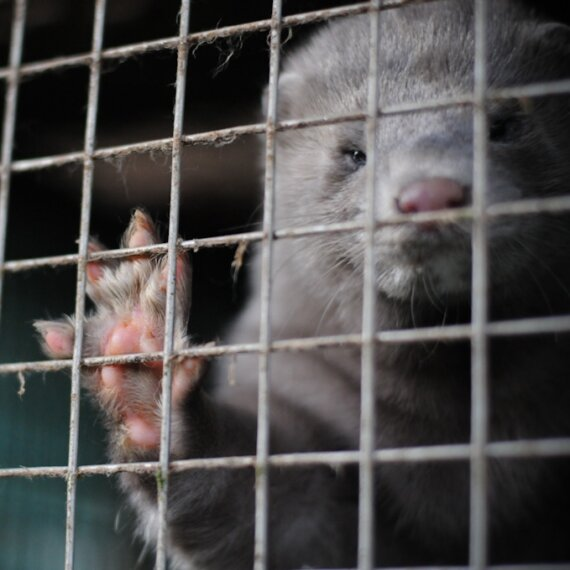 Ask Sweden to Ban Fur Farms