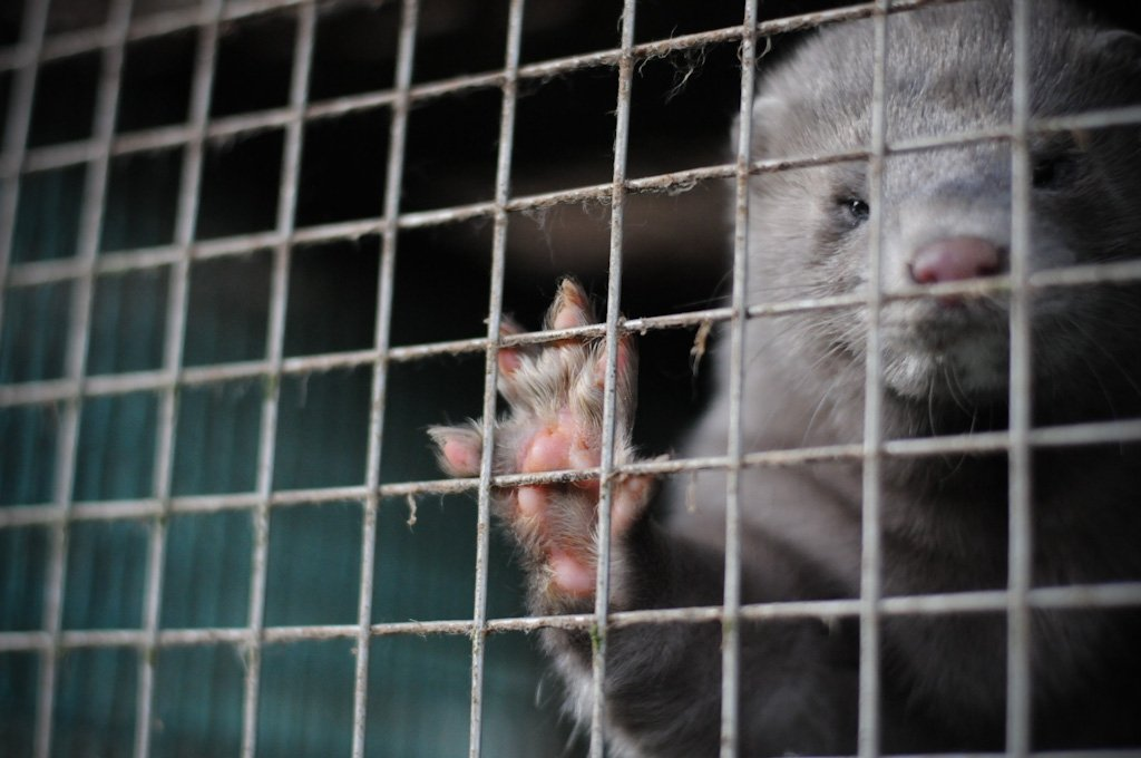 Mink. Jo-Anne McArthur / We Animals