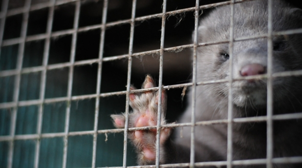 Ask Ireland to Ban Fur Farms