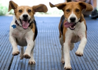 WIN: Plans for Yorkshire Beagle Breeding Farm Rejected!