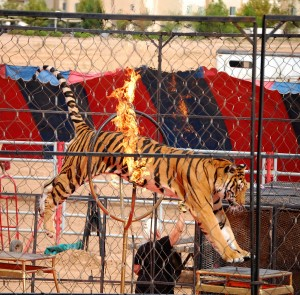 Urge Scotland to ban wild animal circuses forever