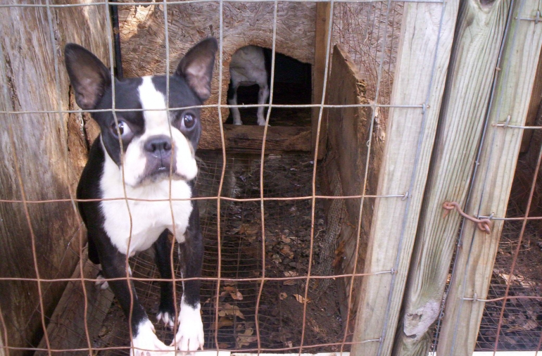 two Boston terriers in small wire cage on puppy mill