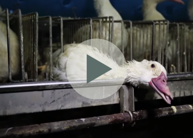 For the First Time, a French Foie Gras Supplier Is Taken to Court for Cruelty
