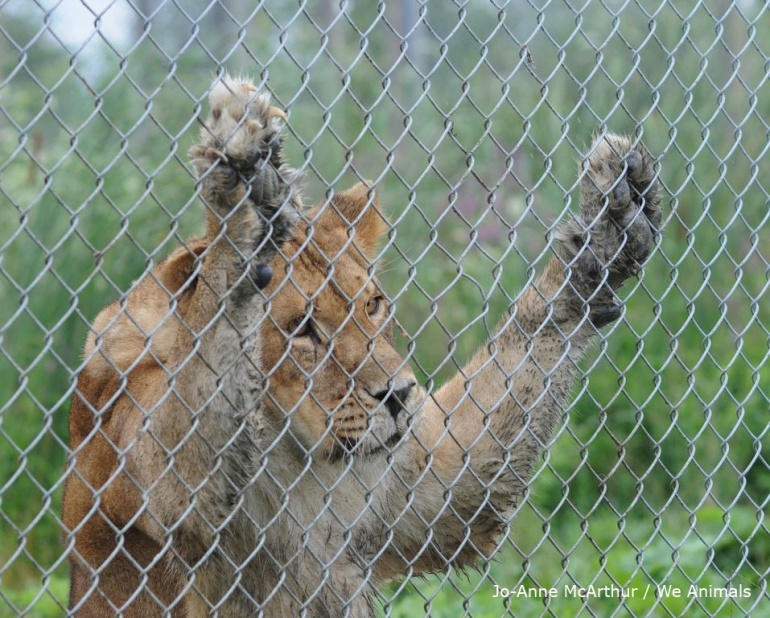 Lioness caged in a zoo