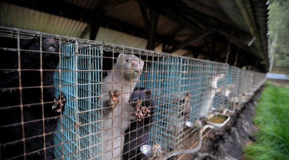 Mink in cages on Swedish fur farm