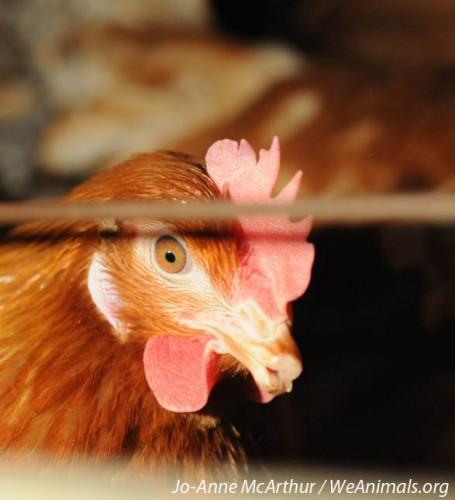 We Animals Hen