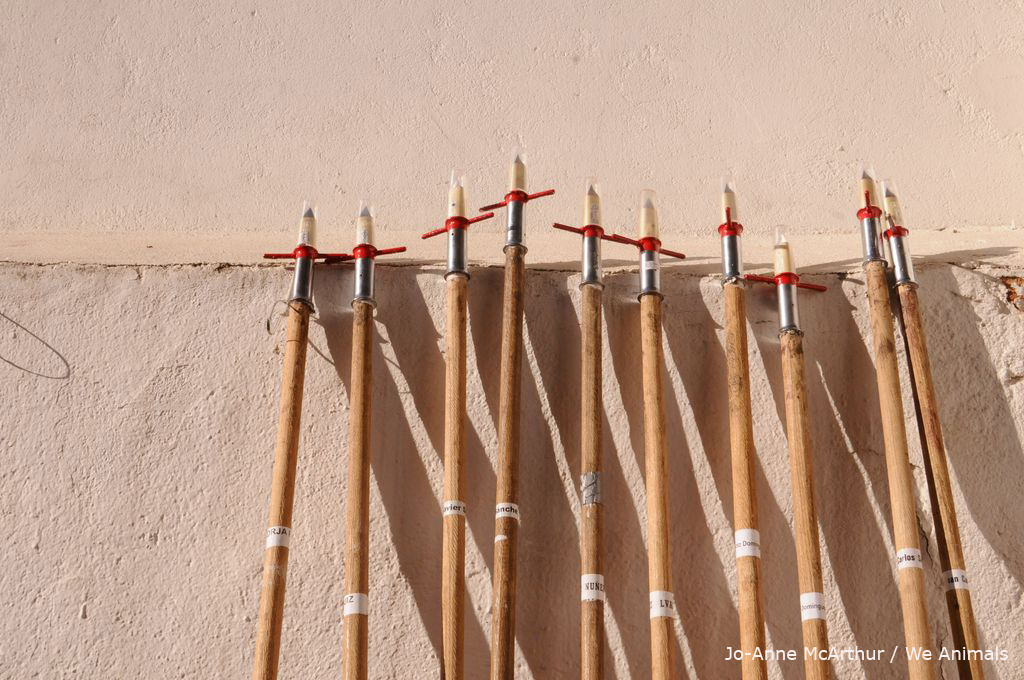 Spears used in bullfights to stab bulls