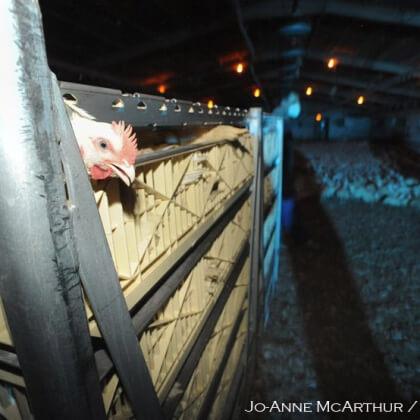 Help Chickens in Norfolk!